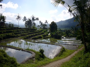 Rice Growing Bali