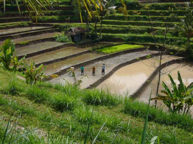 Rice - Traditional Growing in Bali